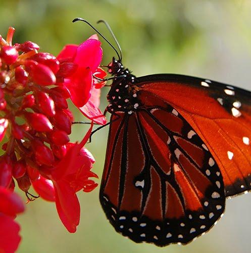 Monarch butterfly body - photo#25