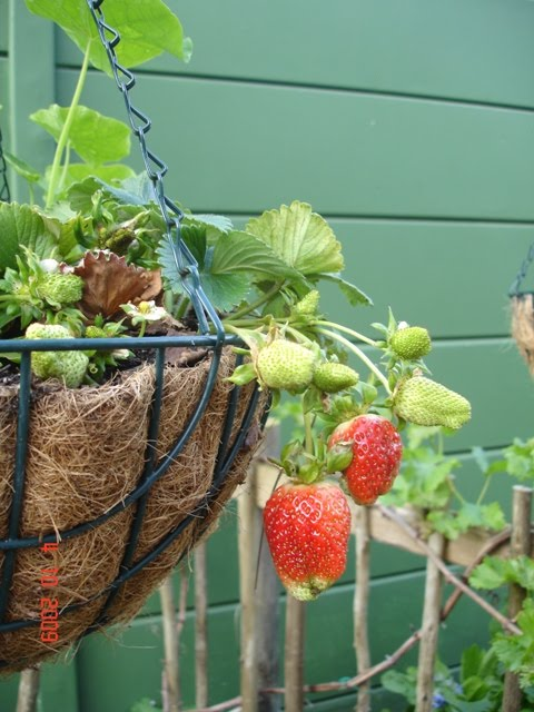 How To Grow Strawberries In Hanging Pots