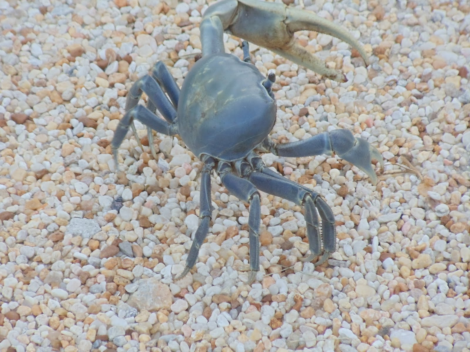 Florida crabs pictures for Fish store bayport