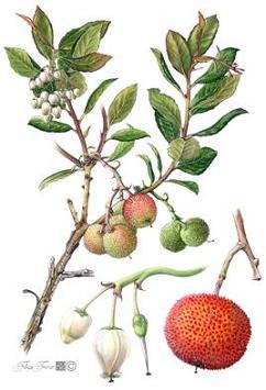 Medronheiro - Arbutus unedo L.
