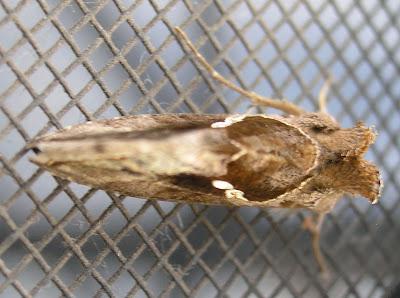 weird moth