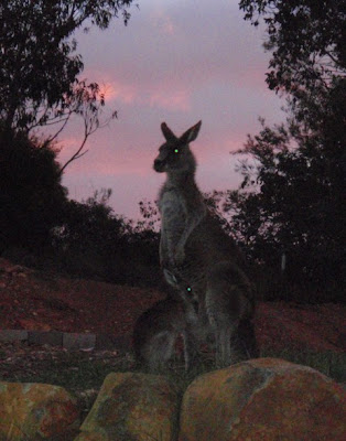 Mum kangaroo and her Joey with sunset sky behind them
