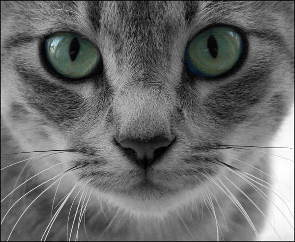 Gray Tabby Cat with Green Eyes wallpaper background