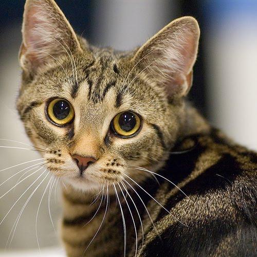 The warrior cats: Oceanclan Tabby Cat