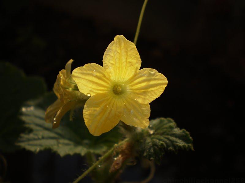 cookingchinchillas honeydew melon flower