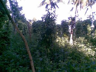 Kebun Merica Ngambarsari