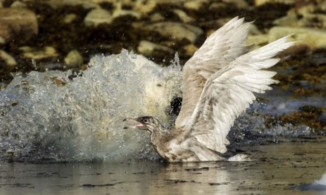 Bear Try To Eat Seagull Seen On www.coolpicturegallery.us
