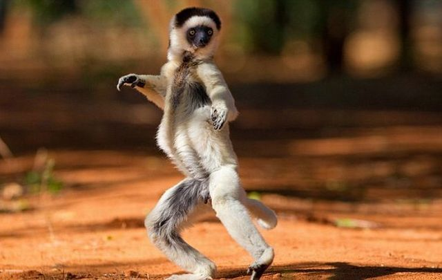 Dancing Funny Lemurs Seen On www.coolpicturegallery.us