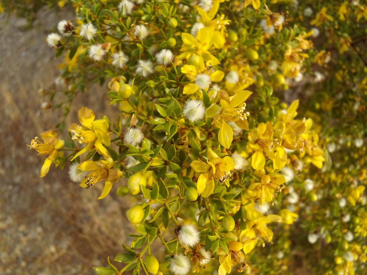 Creosote+bush+flower