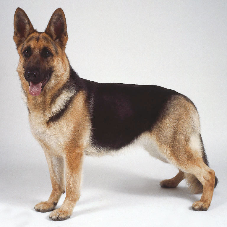 The German Shepherd: More Than Just an Average Dog