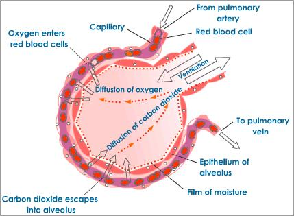Human respiratory and cardiac systems evaluate the conditions the exchange of gases is vital for our survival gaseous exchange happens in thelungs in the alveoli for effective gaseous exchange a large surface area ccuart Gallery
