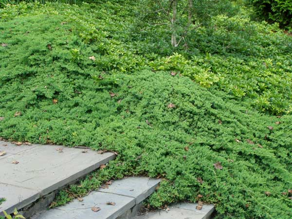 gogardennow faq how far apart should ground cover junipers be, Natural flower