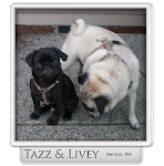 Custom Made Harnesses for Pugs &amp; Other Pups