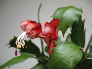 Dead Schlumbergera truncata 'Dark Marie'