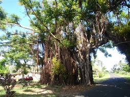 Big Banyon Tree