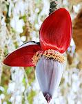 Λουλούδι μπανάνας