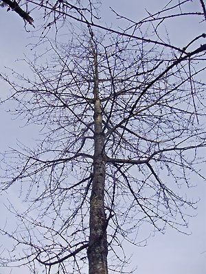 [Prunus_avium-48.jpg]