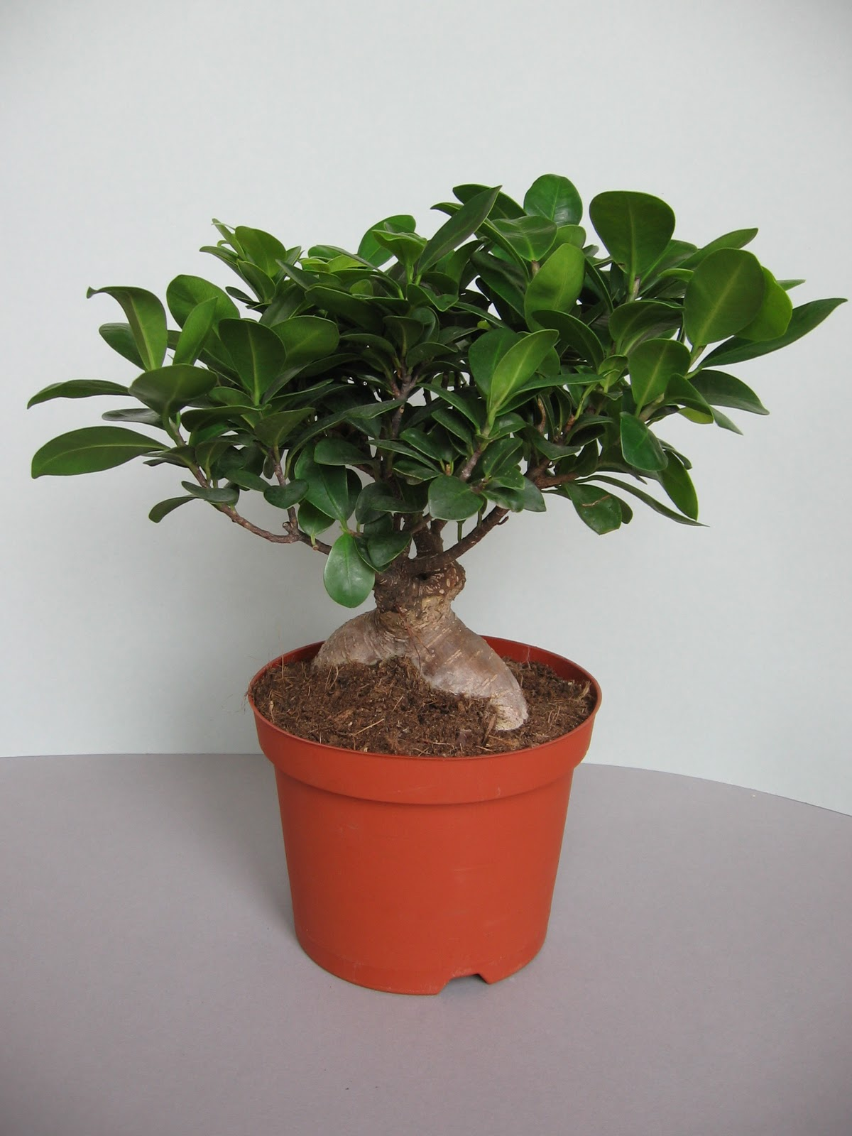 bonsai pflege bonsai ficus ginseng