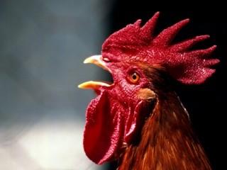 Atando cosas a un gallo
