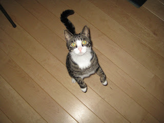 A tabby-and-white cat standing on her hind legs, looking up into the camera with wide eyes.