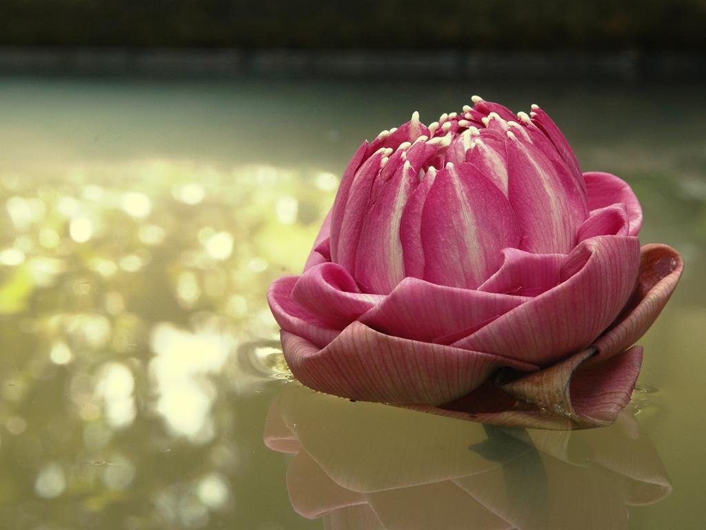 http://3.bp.blogspot.com/_HUzY7vCQqI4/TSouJCv-a5I/AAAAAAAAAdg/4n2QLT8zjl4/s1600/flor-de-lotus-d397c.jpg