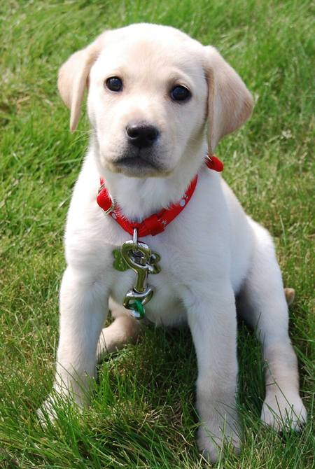 cute yellow labrador puppy. cute yellow labrador puppy.