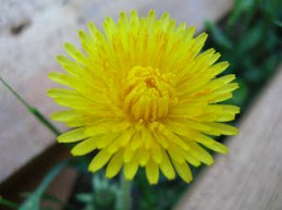 La flor de la achicoria