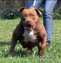APBT HEMBRA - RED SUGAR