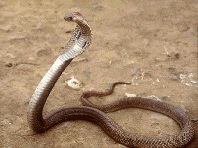 The King Cobra (Ophiophagus hannah) is the world's longest and largest