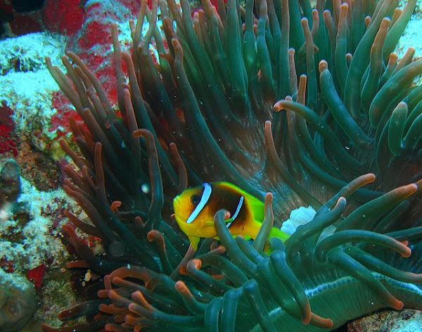 Clownfish in a red anemone