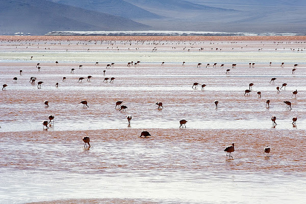 andean+flamingos+at+Salar+de+Uyuni