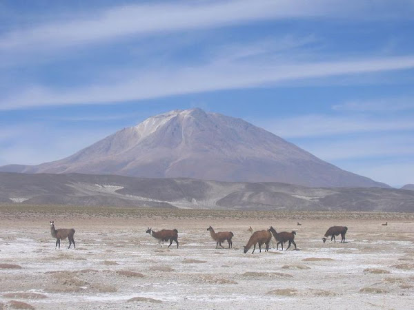 llamas+at+Salar+de+Uyuni