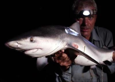 巨型魚怪 - 牛鯊 Bull Shark