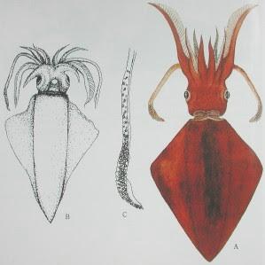 太麻里 巨魷 - 菱鰭魷