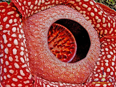 大王花食人花 Rafflesia