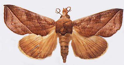 吸血鬼蛾 Vampire Moth - Vampire 吸血鬼 蛾