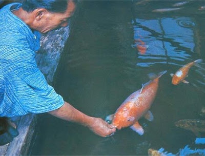 226歲 鯉魚 寺廟 - 226歲鯉魚 花子(Hanako)在日本寺廟