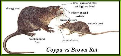 75公分巨鼠 - 英國鼠斯拉 75公分巨鼠