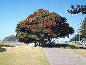 Pohutukawa tree at Mount Maunganui