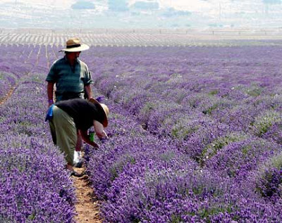Awesome Lavender Fields ~ Mona, Utah