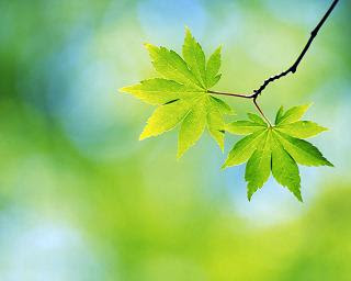 Photo of gingko leaves