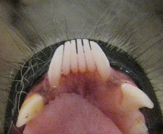 Tooth comb of a ring-tailed lemur ( Lemur catta ). Notice the two ...