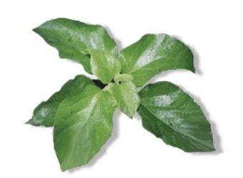 Philippine Herbal Medicine Site  Alternative Medicine