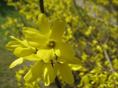 форзиция цветы, куст цветущей форзиции