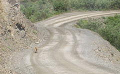A fox crosses the road in Denali