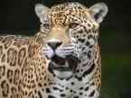 Ngbe, Mgbe, Ekpe, Nyamkpe or the Leopard