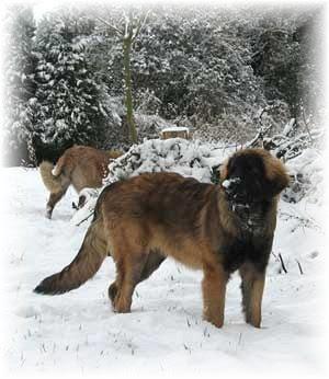 Leonberg dans la neige