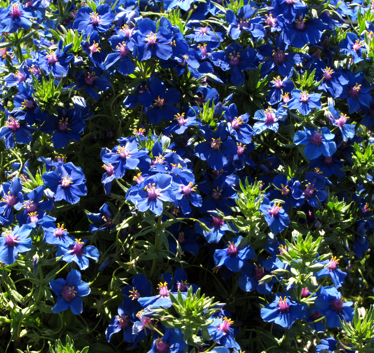 Interleafings From Anagallis To Zaluzianskya At Annies Annuals