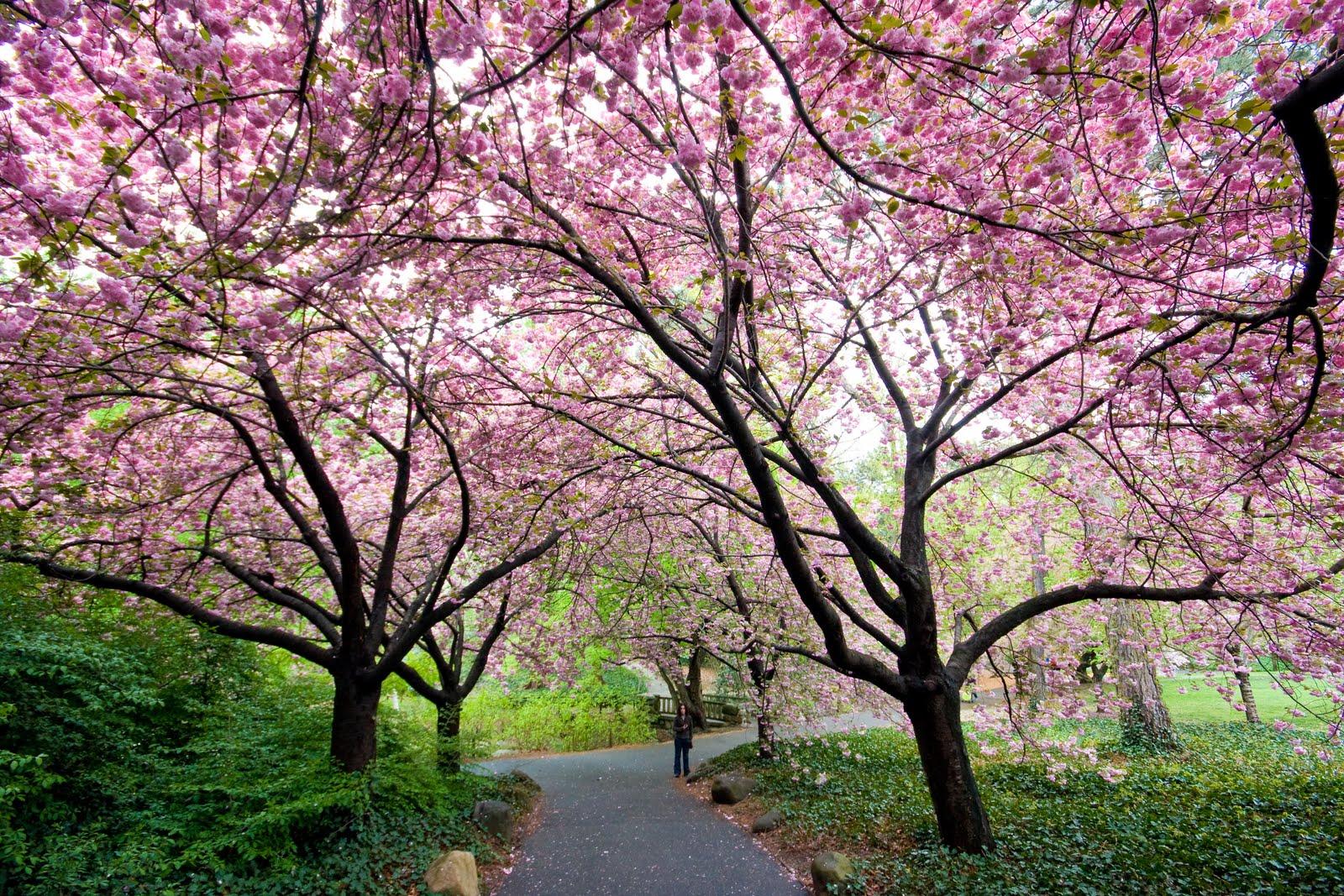 We Heart New York Cherry Blossoms At The Brooklyn Botanic Garden