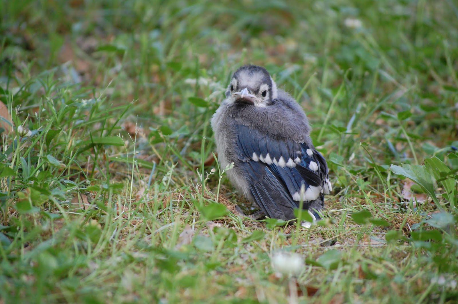 Baby Blue Jay Bird Wrensday Hello Baby Jay
